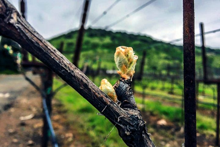 Climate, labor keep wine industry busy