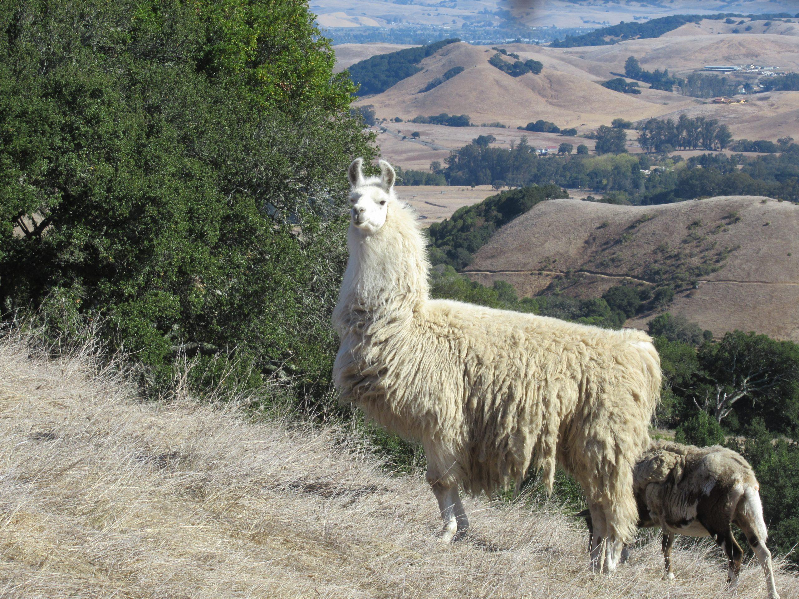 Llama at Stubbs