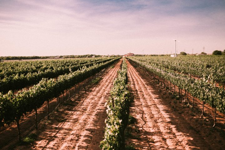Texas vintners overcome weather challenge